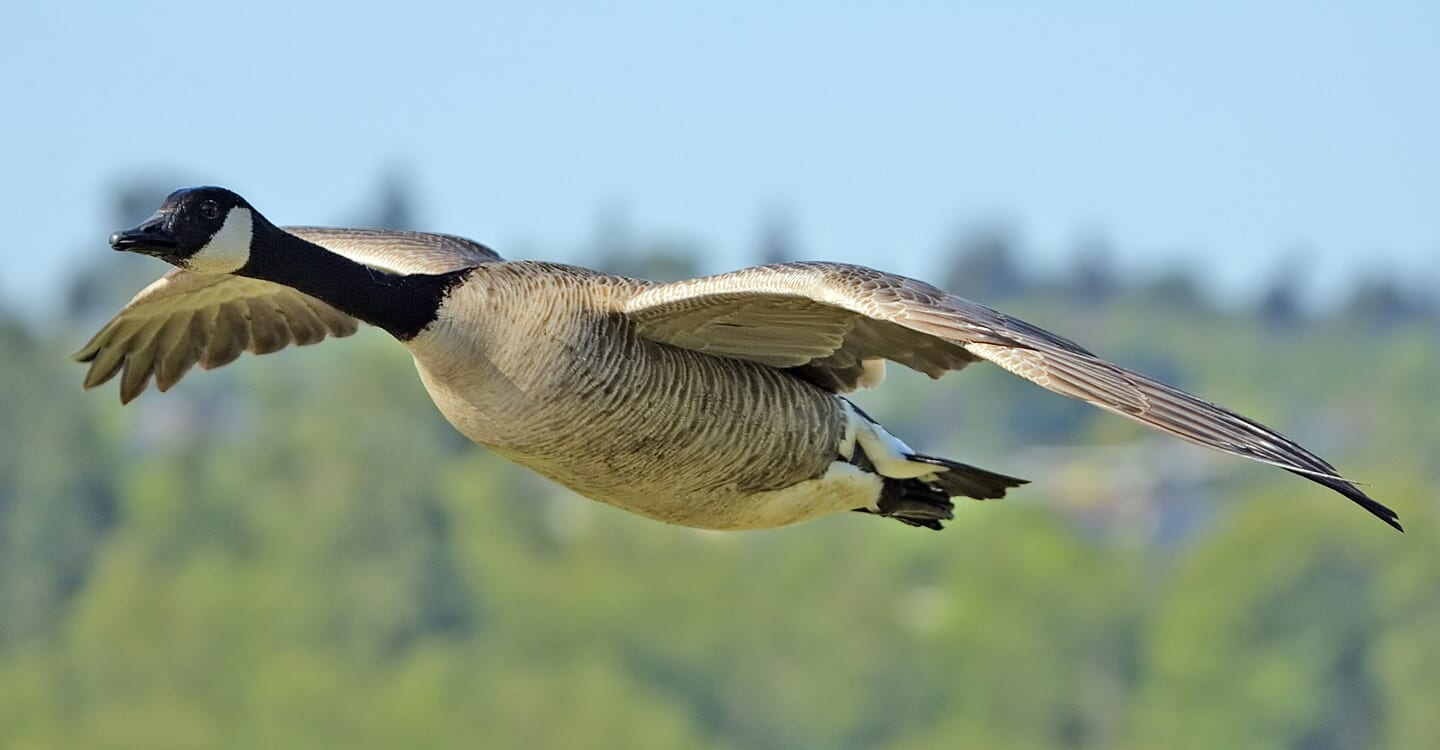 Canada_goose_flight_cropped_and_NR